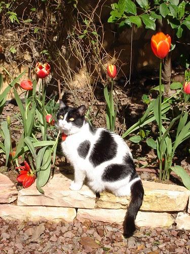 Tulip kitty
