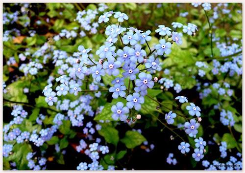 flores azules (2)