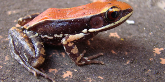 South Indian frog oozes molecule that inexplicably decimates flu viruses