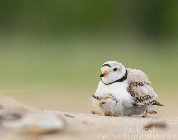 Piping plover pulling out from beneath its parent