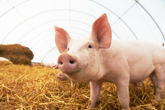 Why A Pig is Making Me Speak Out Against Bad Science | DrAndyRoark.com