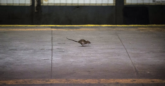 How the Brown Rat Conquered New York City (and Every Other One, Too)