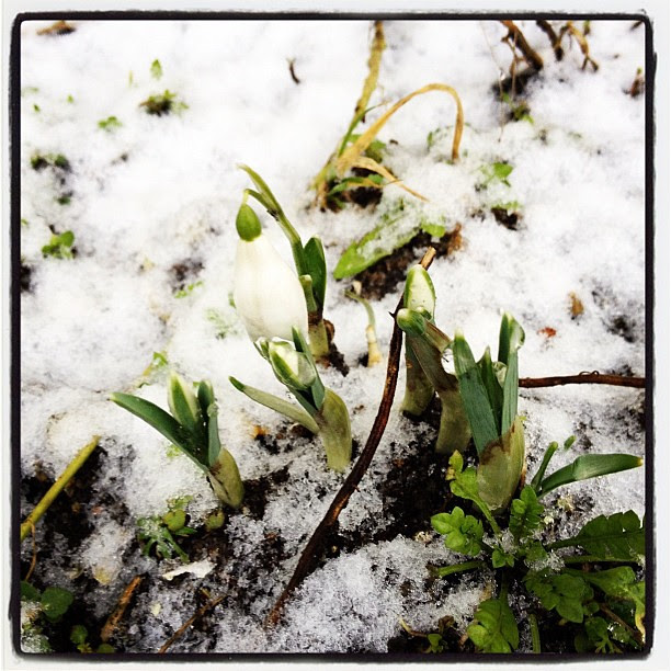 21/1.2012 - snowdrop. literally.