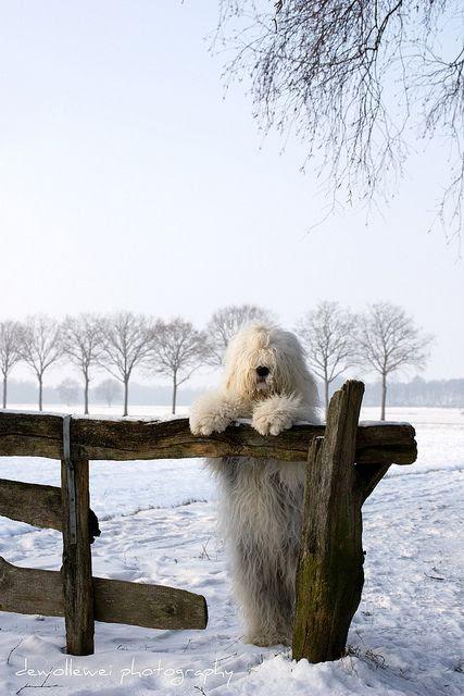 Seasons greetings two by dewollewei, via Flickr (Old English Sheepdog)