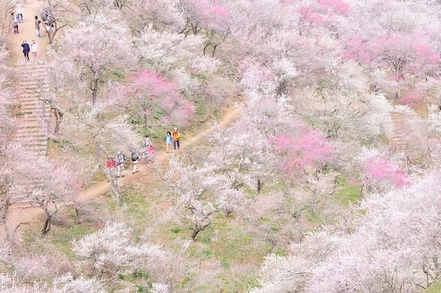 Prunus_15