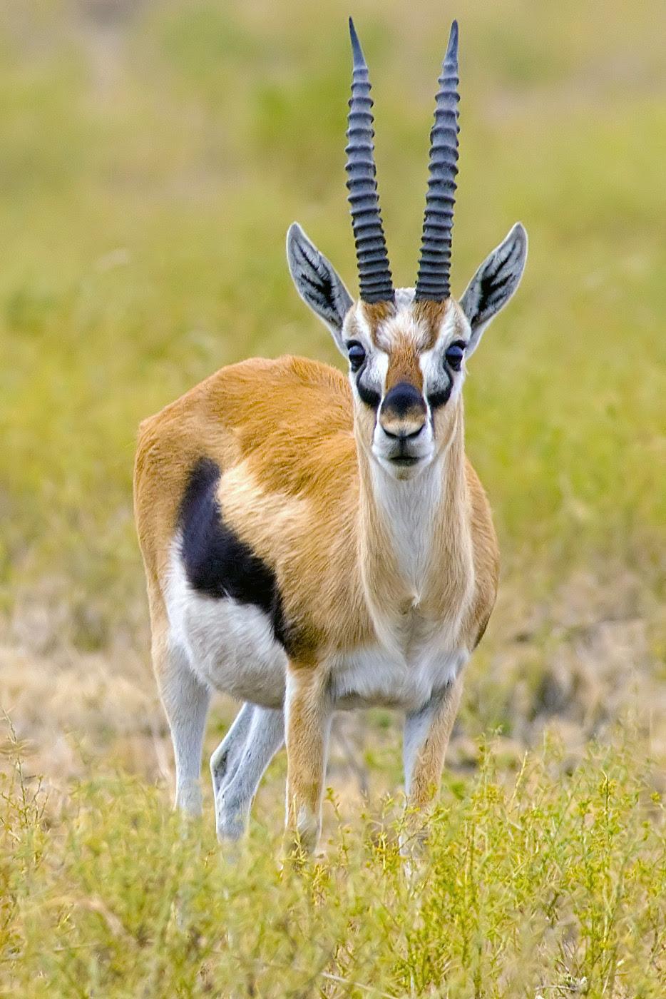GACELA DE THOMSON Gazella thomsonii