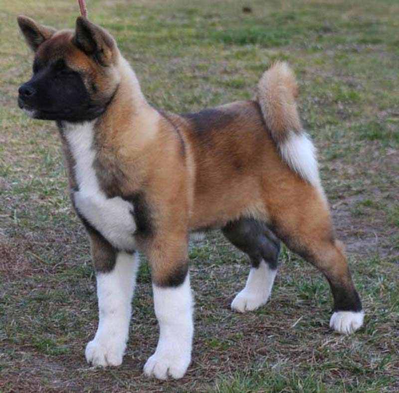 10 Surprising Facts About Akitas – American Kennel Club