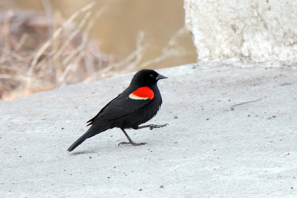 Ed Gaillard: birds &emdash; Red-Winged Blackbird, Van Cortlandt Park, Bronx NY