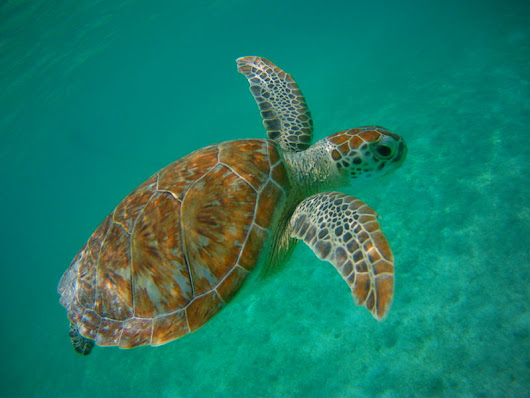 Swimming with Turtles in Akumal: Do's and Dont's | All About Playa del Carmen