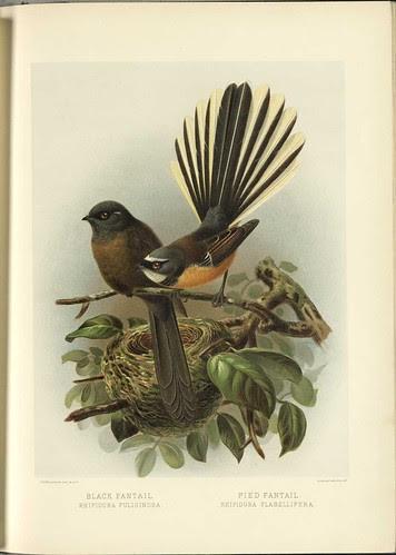 Black Fantail - Rhidura fuliginosa + Pied Fantail - Rhipidura plabellifera