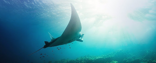 One of The Biggest Manta Ray Secrets Has Just Been Discovered by Sheer Chance