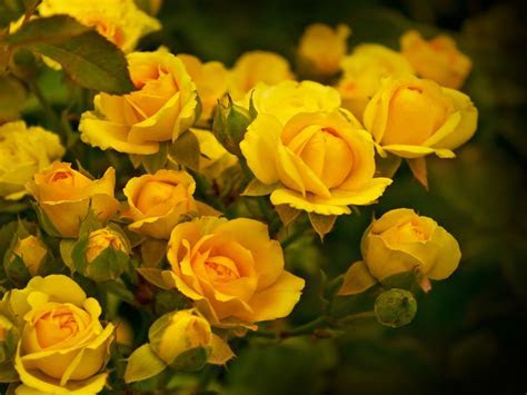 Yellow Roses New Image Color Expression Hd Wallpaper