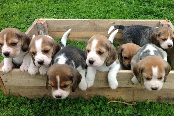 Buy Beagle Puppy Online India | Beagle Puppy