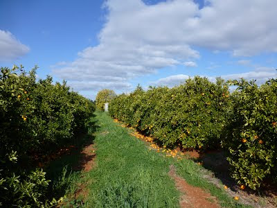 Orange Trees - ...... Now Save Australia !