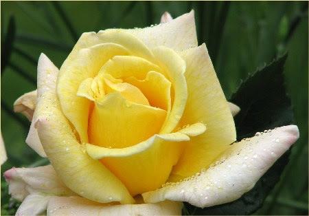 Destellos rosas significado de cada color - Significado rosas amarillas ...