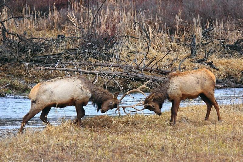IMG_8138 Elk
