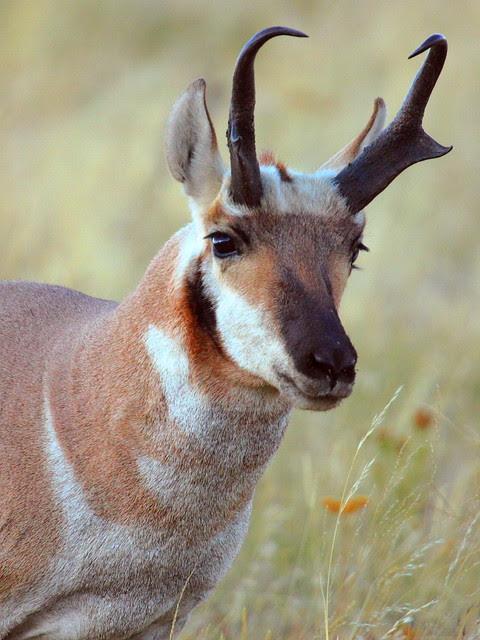 IMG_2676 Pronghorn, National Bison Range