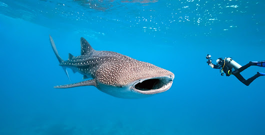 Whale Shark Diving: The 10 Best Dive Sites in the world