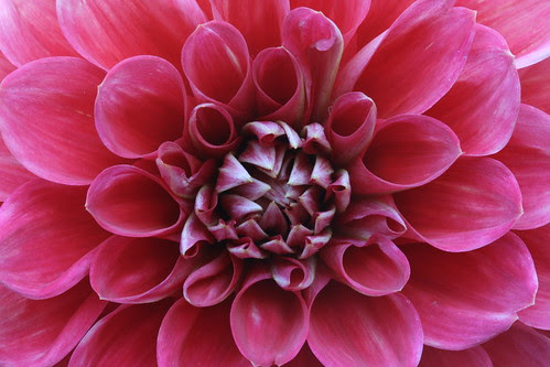 Petals and Petals of Dahlia (SOTC 73/365) by gina.blank