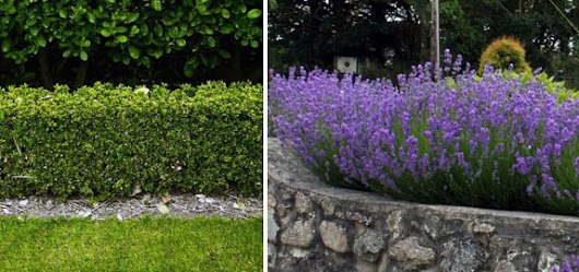 Low Growing Hedges | A guide to the best short hedging plants