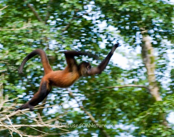 Spider Monkey Preparing to Leap
