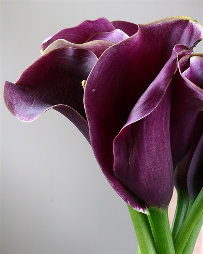 Purple Lillies by stephcarter