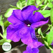 Surfinia Plug Plants | Buy Trailing Surfinias Online - Babyplants