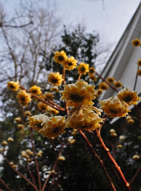 Edgeworthia chrysantha (2)