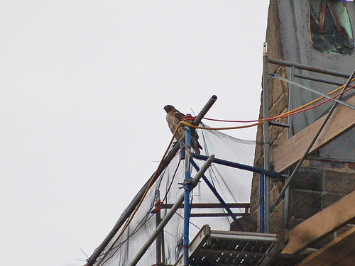 Red-Tail on Scaffolding