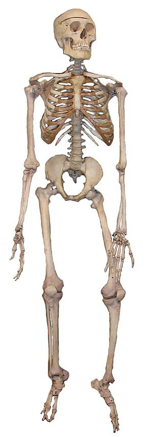 A full articulated human skeleton used in educ...