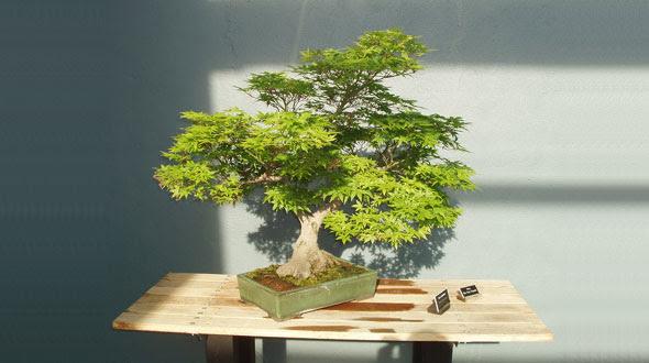 Bonsai Tree Care Light Bonsai Tree