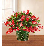 Christmas Cactus - Small, Holiday Gifts by 1-800 Flowers