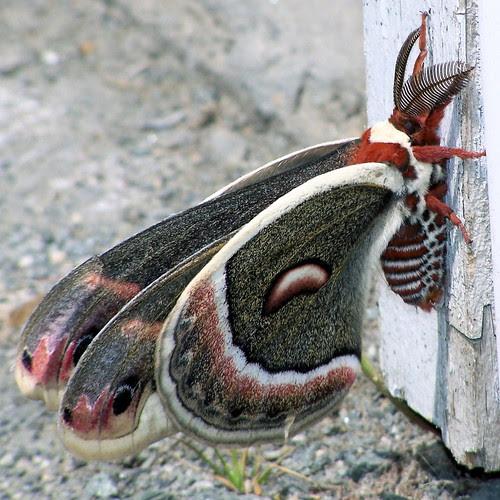 Male Robin Moth - 6