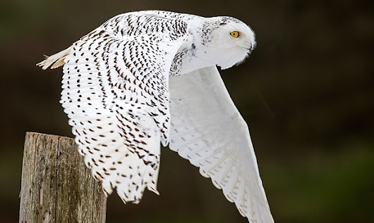 Irruption – White Owls Flocking in Indiana – Word Matters!