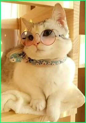 Kucing Lucu Yang Bagus