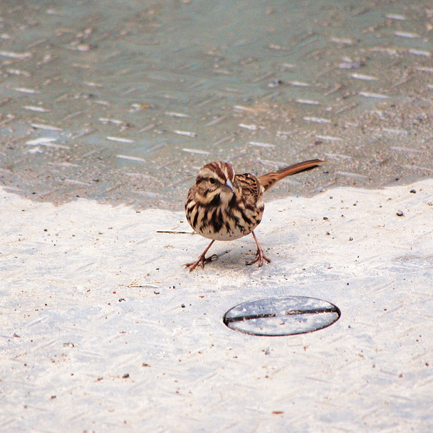 Ed Gaillard: recent &emdash; Song Sparrow, Bryant Park