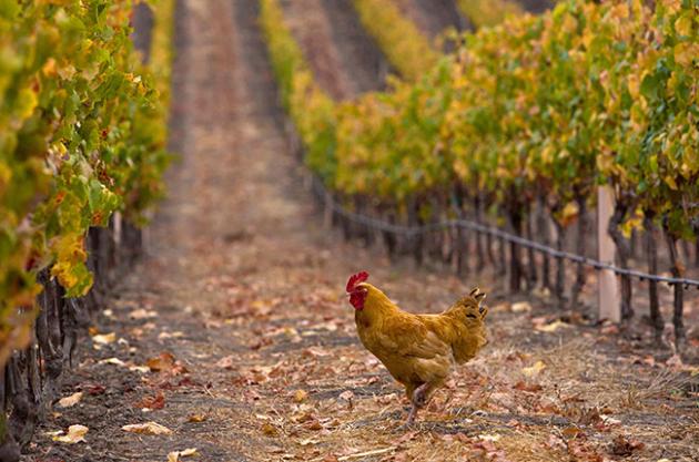 Chicken-vineyards-WI-630x417