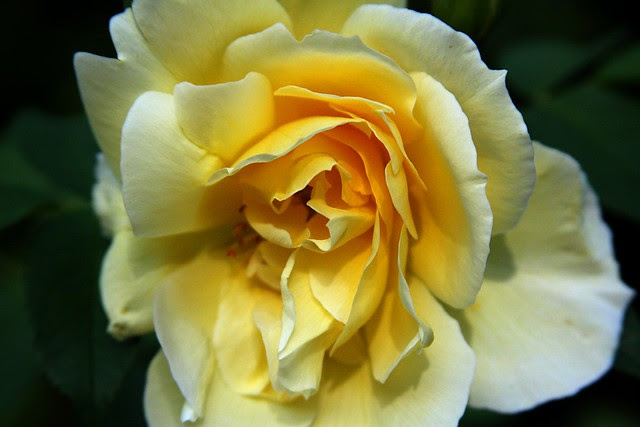 rose, portland memory garden