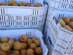 tree-ripened peaches