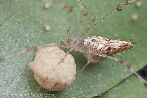golden comb footed spider with egg sac and newly hatched spiderlings IMG_3523 copy