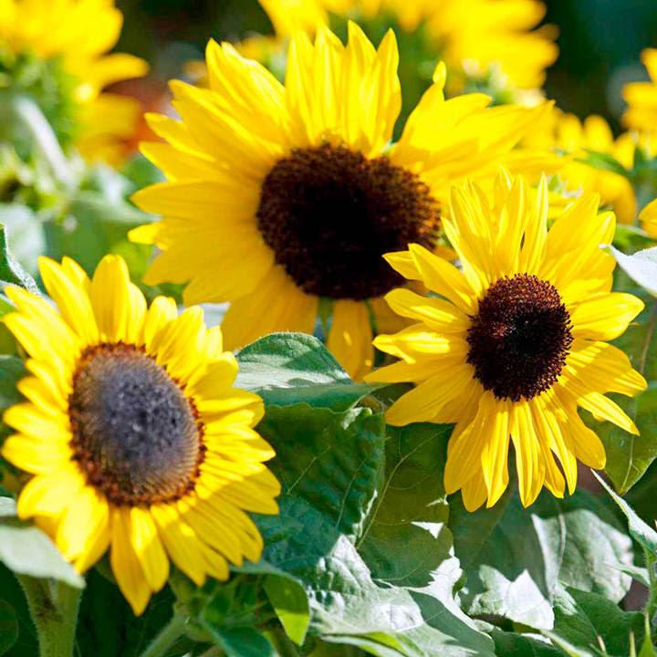 Sunflower Seeds - F1 Suntastic Yellow - View All Flower ...