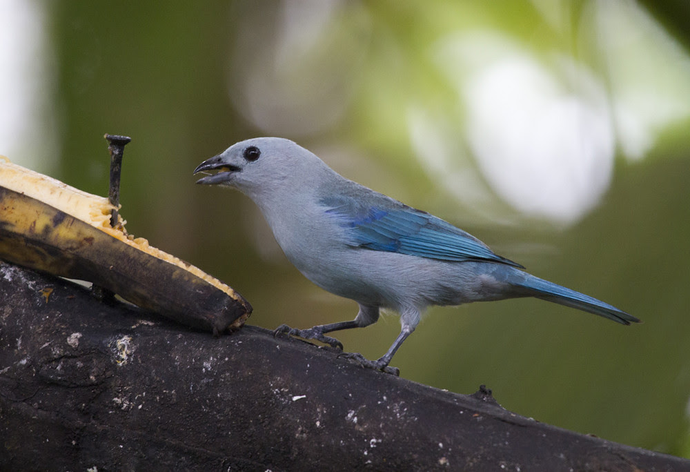 BlueGreyTanager
