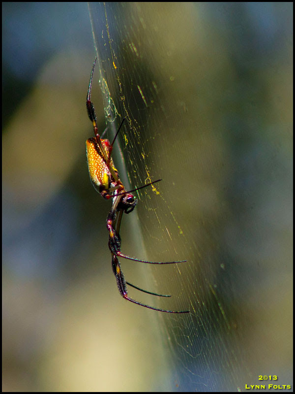 Golden silk Orb Weaver.jpg