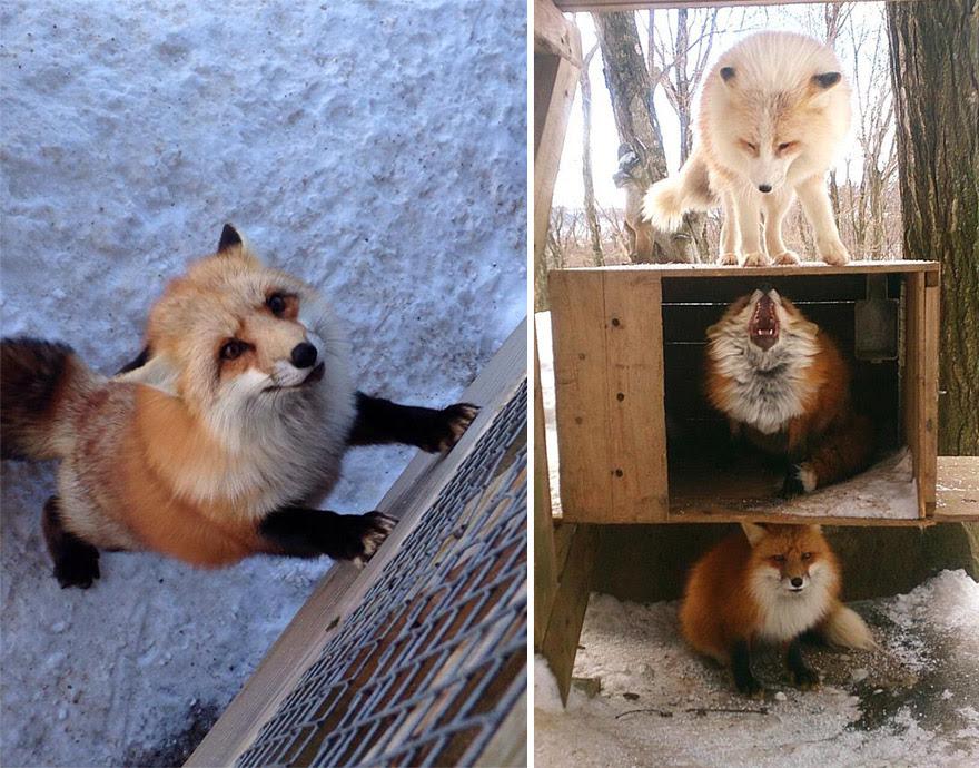 zao-fox-village-japan-1