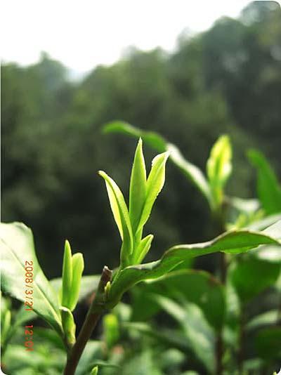 Így nézett ki idén egy korai szedésű sárkánykúti Oroszláncsúcs tea, közvetlenül szedés előtt