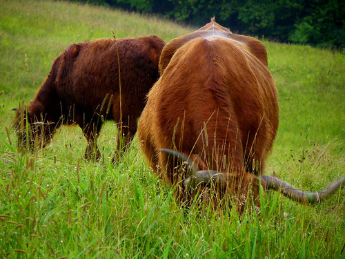 Highland Cattle -- Cow And Calf