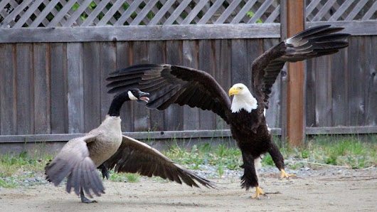 This Bald Eagle Could Have Fucked Up This Canada Goose, But Didn't Because It Is Brutal Yet Merciful