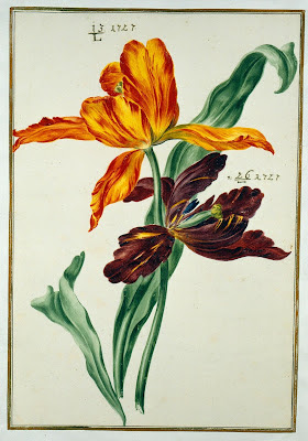 watercolour from Karlsruher Tulpenbuch