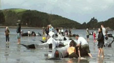 201205 Pilotwhales