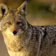 Coyote attack in Anthem | Las Vegas World News
